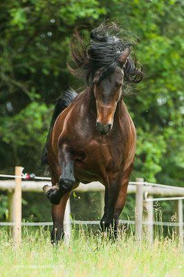 Die Pura Raza Española (zu deutsch Reine Spanische Rasse, abgekürzt PRE oder P.R.E.) ist eine aus Spanien stammende und seit 1912 streng reglementierte Pferderasse. Die Pferde gehören zu den lange unter dem etwas unscharfen Oberbegriff Andalusier bekannten spanischen Rassepferden. Die Rasse ist auch unter dem Namen Iberisches Pferd bekannt und wird vorwiegend in den Regionen Extremadura und Andalusien gezüchtet. PRE-Pferde haben eine nachgewiesene Abstammung (Stutbuch und Körung).