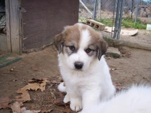 ARKANSAS PUPPIES is an adoptable Anatolian Shepherd Dog in Conway, AR. We are in search of foster homes for twelve puppies DOB 2/10/13. This is Mom, she is a Big White Dog flock guardian breed. ...