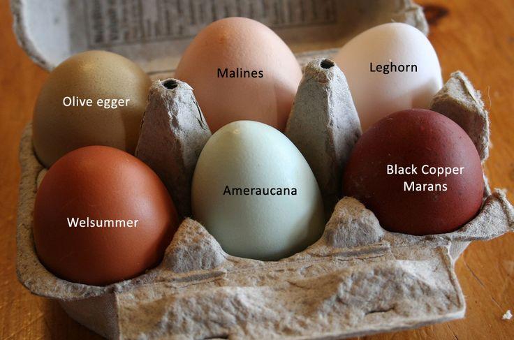 Rhode Island Red Chicken Eggs Hatching