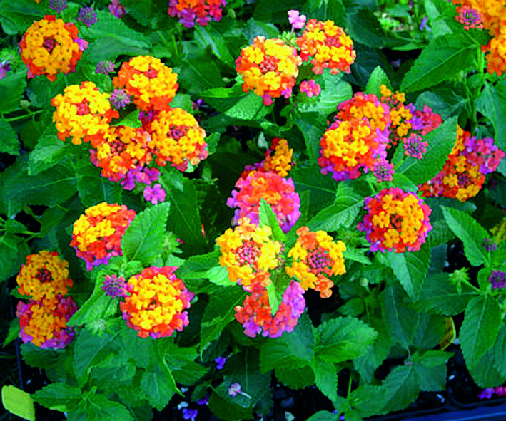 Cherry Sunrise Lantana is heat tolerant, use little to no supplemental water in the landscape, will tolerate less than ideal soils and usually don't need to be deadheaded. If you are looking for a plant that will thrive on neglect, lantana is the champ. Lantana come in many colors, shapes, sizes and habits. I love this Lantana, love the beautiful colors!!