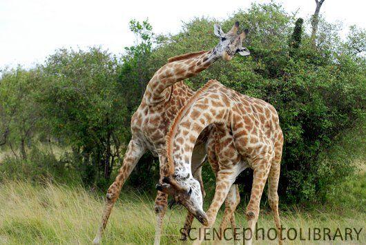 Male giraffes fighting