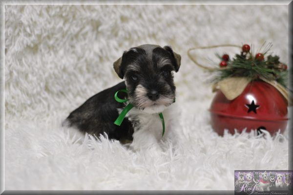 Hypoallergenic Schnauzer Puppies For Sale In Tx Ok Rojos Miniature Schnauzers Schnauzer Puppy Miniature Schnauzer Puppies For Sale