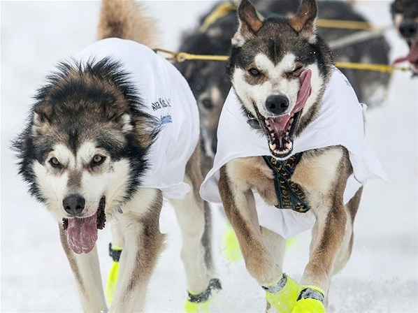 Course de chiens (© REUTERS/Nathaniel Wilder)