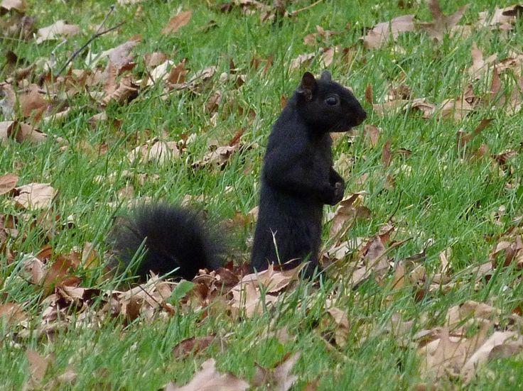 Black Squirrel Point Gratiot