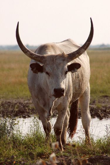 Hungarian Grey cattle - Hortobágy - Hungary
