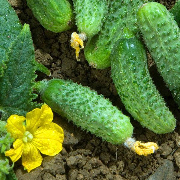Réussir la culture des concombres et cornichons