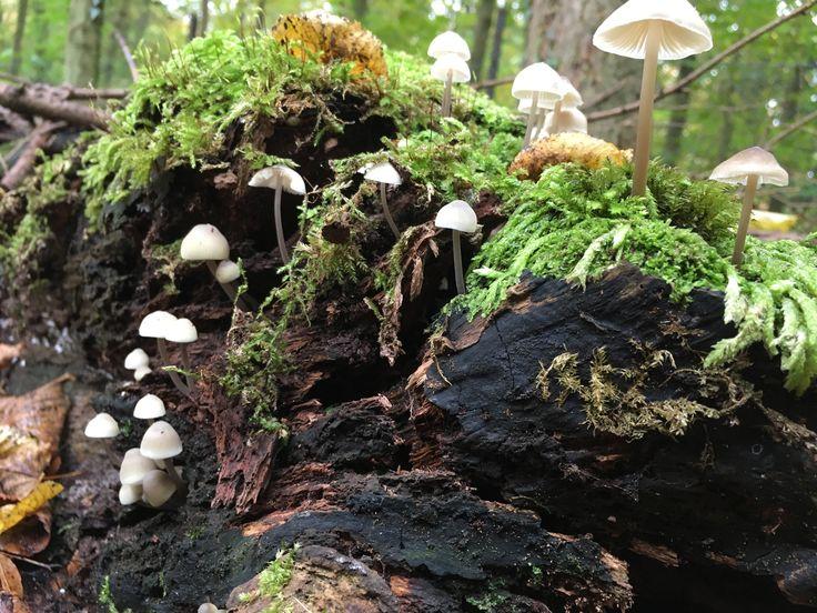 Bundelmycena in Groenendaalse Bos nabij De Glip In Heemstede, NH/NL