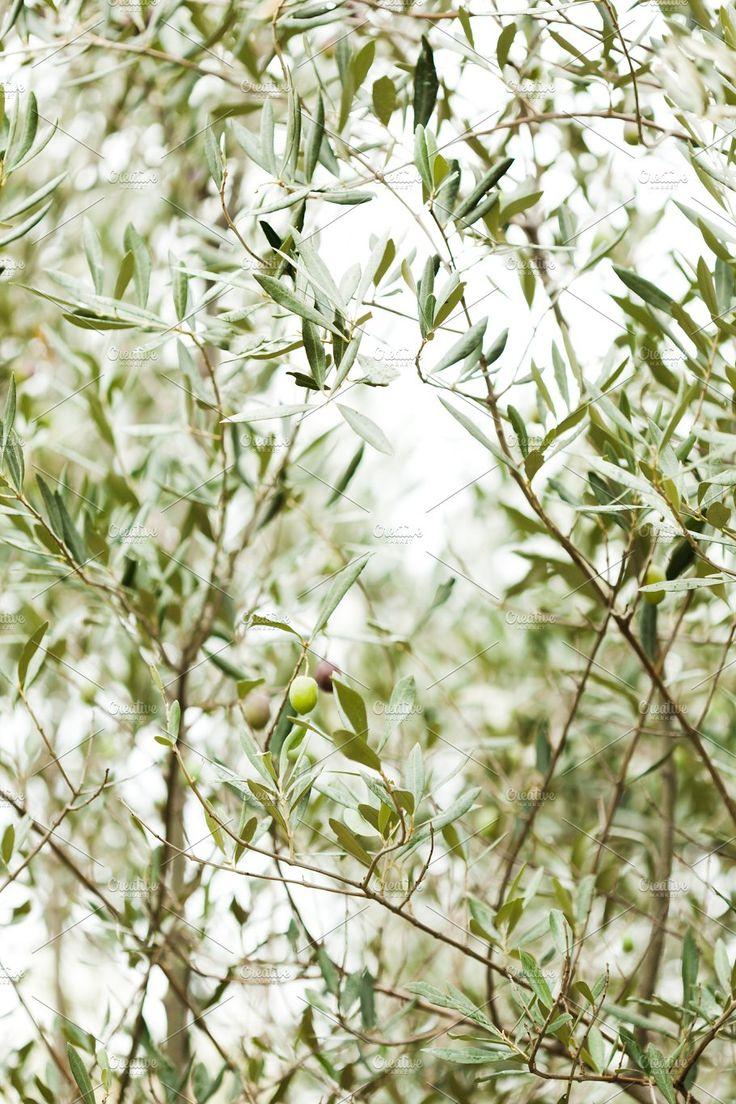 Olive tree Olive tree, Green aesthetic, Plants