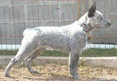 Burnum, a 6 month old Stumpy Tail Cattle Dog puppy