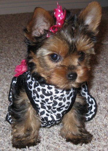 Yorkie cutie: Teacups Yorkie Puppies, Cant Wait, Dogs, Dresses Up, Pet, Pink Bows, Puppy, Adorable, Animal Prints