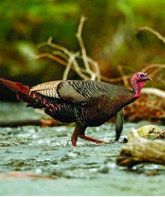 Turkey Hunting Tips: How to Hunt Smart in the Post-Restoration Era