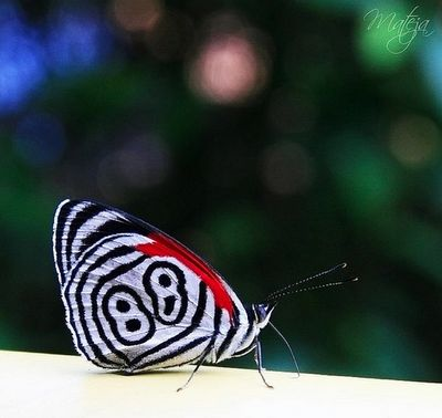 The Eluina Eighty-eight (Diaethria eluina), or 88 butterfly found from Peru to Bolivia and Brazil.: Eighties Eight Diaethria, Diaethria Eluina, Eluina Eighty Eight, Eluina Eighties Eight, Eightyeight Diaethria, 88 Butterflies, Eluina Eightyeight, Eighty Eight Diaethria, Jr Butterflies