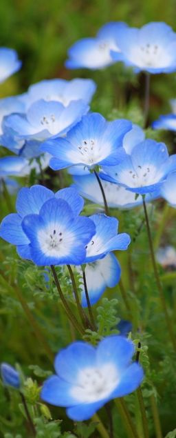 Cheerful blue flowers, probably Nemophila menziesii, known commonly as baby blue eyes.