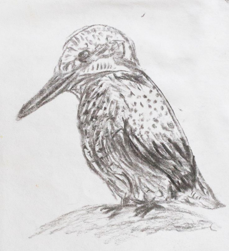 kingfisher charcoal drawing