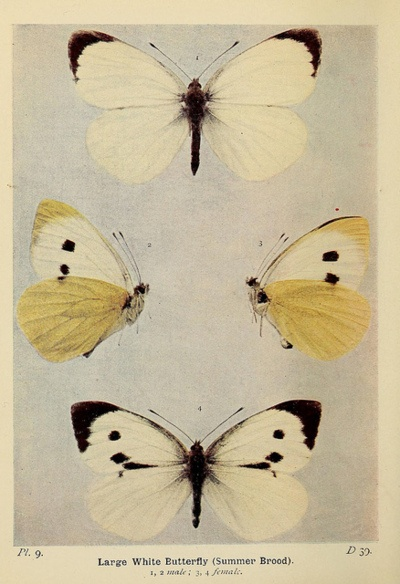 The butterflies of the British Isles.  London :F. Warne,1906..Nature, London, Butterflies, Fauna, Stars, Arthropods, Image, Art Illustration, British Isle