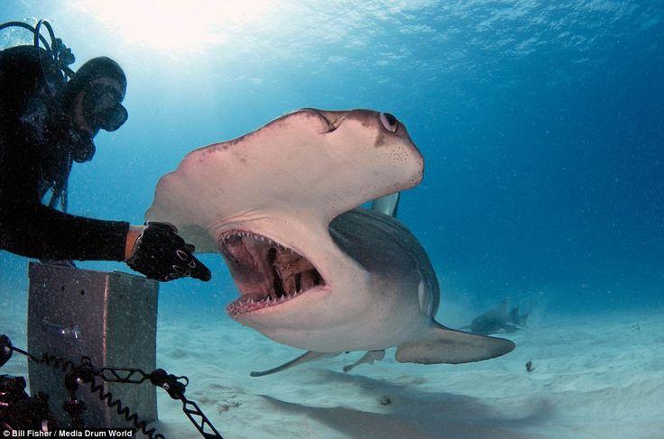 Resultado de imagen para largest hammerhead shark