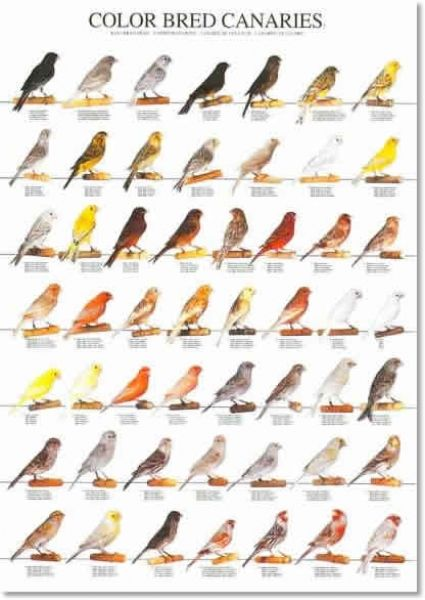 Colorbred canaries poster ...........click here to find out more http://googydog.com