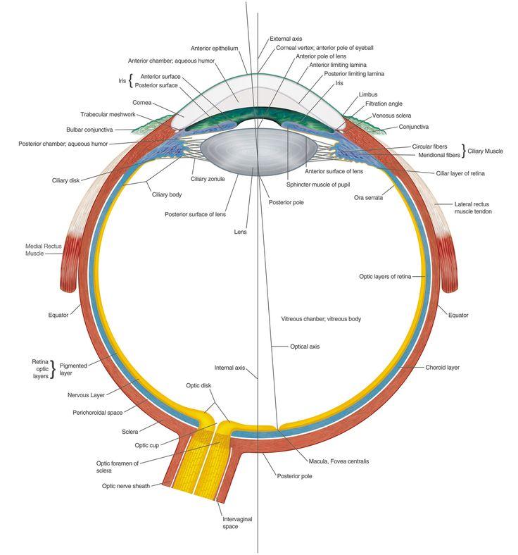 Ocular Anatomy Coloring Book : 48 best oko eye images on pinterest