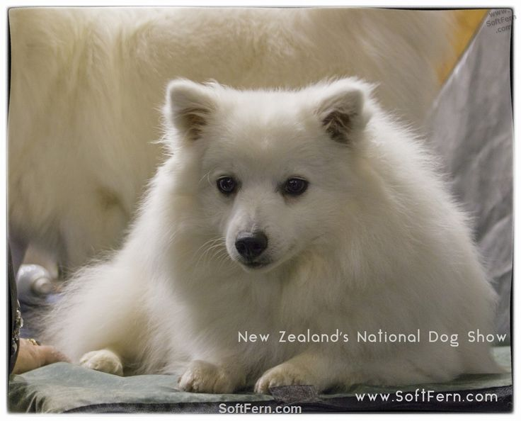 Originally bred to hunt, haul sledges, and herd reindeer, the Samoyed dog breed proved a valuable companion for northwestern Siberia's Samoyede people. Among the breed's duties: pack hiking, tracking, and warming their owners by sleeping on top of them at night.        Blackhawk Dogs New Zealand's National Dog Show. ... 20  PHOTOS        ... Over 1500 of New Zealand's top dogs came from all parts of the country to compete during three days for the ultimate prize of Best In Show.        More…