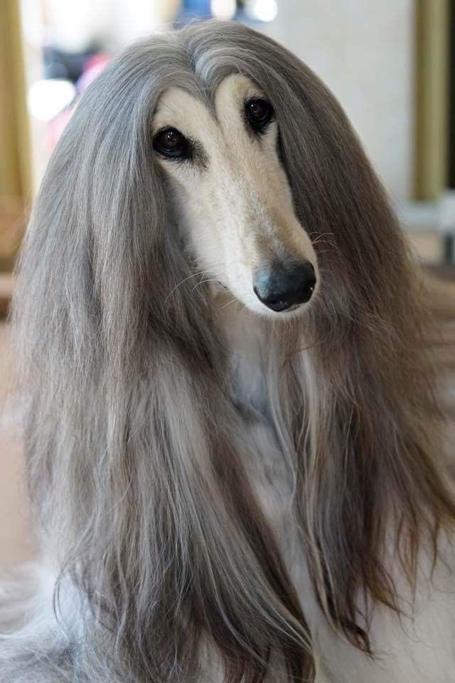 If I Was A Dog This Would Be Me Lol Because I Have Very Long Hair And My Hair Always Parts Like This In The Cente In 2020 Afghan Hound