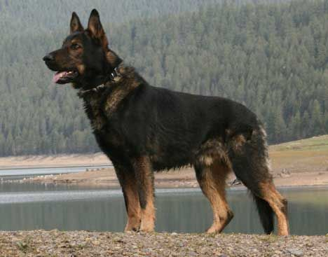 German Shepherd of Czechoslovakian Lines (Czech)  Before the revolution in Czechoslovakia and the fall of their communist government in 1989, German Shepherds bred in Czechoslovakia were primarily working dogs used for the protection of their borders. What is exceptional is that their breeding was done in just one kennel founded in 1955, which was owned by the Czechoslovakian Army's Border Patrol. The breeding program focused on solid nerves, working ability, strong bones and dark…