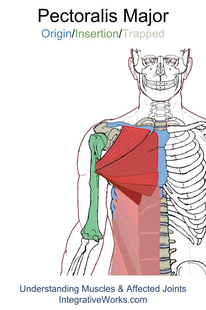 Pectoralis Major – Functional Anatomy | Chest - Origin/Insertion ...