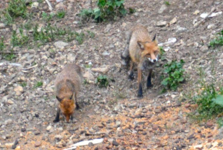 Foxes in the Carpathian Mountains, Romania. #Fox #Carpathians #Romania #AlbatrosTravel #EuropeanWildlife #HenryRasmussen
