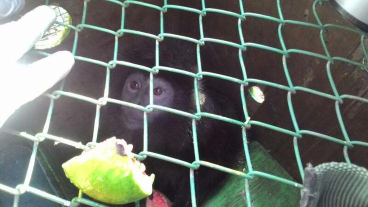Sebelum Dilepasliarkan Lutung dan Kukang Jawa Jalani Habituasi https://malangtoday.net/wp-content/uploads/2017/04/IMG-20170412-WA0013.jpg MALANGTODAY.NET– Sebanyak 2 ekor Lutung Jawa (Trachypithecus Auratus) dan 3 ekor Kukang Jawa (Nycticebus Javanicus) akan dilepasliarkan di kawasan hutan lindung RPH Sumbermanjing Kulon. Sebelum dilepasliarkan, kedua primata endemik tersebut terlebih dahulu akan menjalani masa habituasi... https://malangtoday.net/malang-raya/kabupate