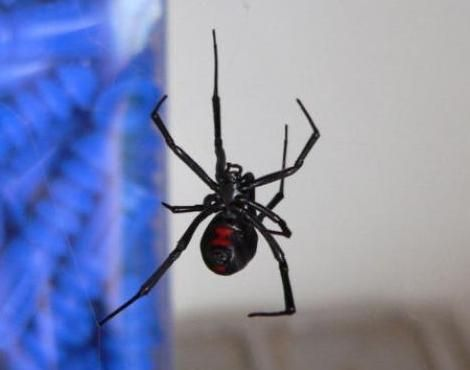 A Black Widow Spider Latrodectus Mactans Suspended In Its Web