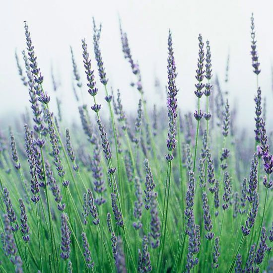 'Graves' offers gardeners lovely, wonderfully fragrant lavender-blue flowers in late spring and early summer. It's a heavy bloomer and grows a little taller than many of the other common English lavenders.