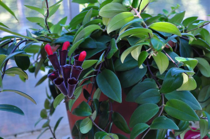 Lipstick vine is a stunning plant distinguished by trailing vines and red, tubeshaped blooms. Lipstick plant requires minimal care, but it can become shaggy and overgrown. Cutting back a lipstick plant keeps the plant healthy and this article will help.