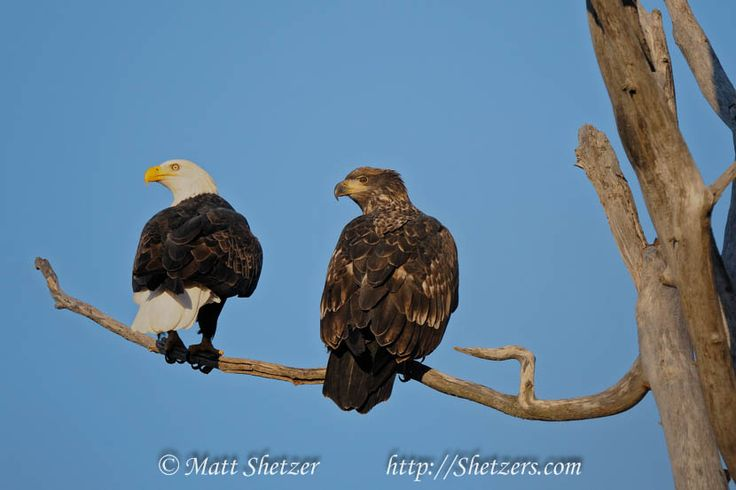 Adult and Juvenile Bald Eagles sit tree - Bald Eagle Pictures