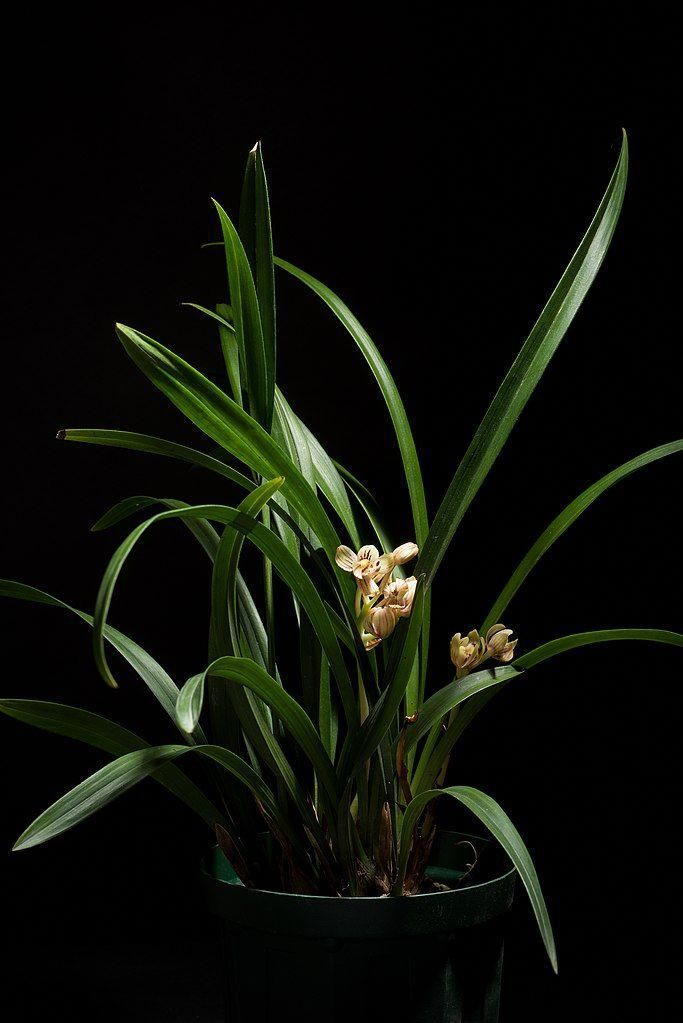 Cymbidium Orchids How To Grow Different Types Of Cymbidium In 2020 Types Of Orchids Cymbidium Orchids Orchids