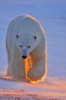 Polar bear Like & Repin thx. Follow Noelito Flow instagram http://www.instagram.com/noelitoflow