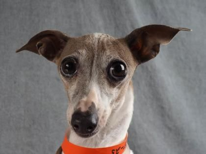Greyhound Dog Adoption Colorado