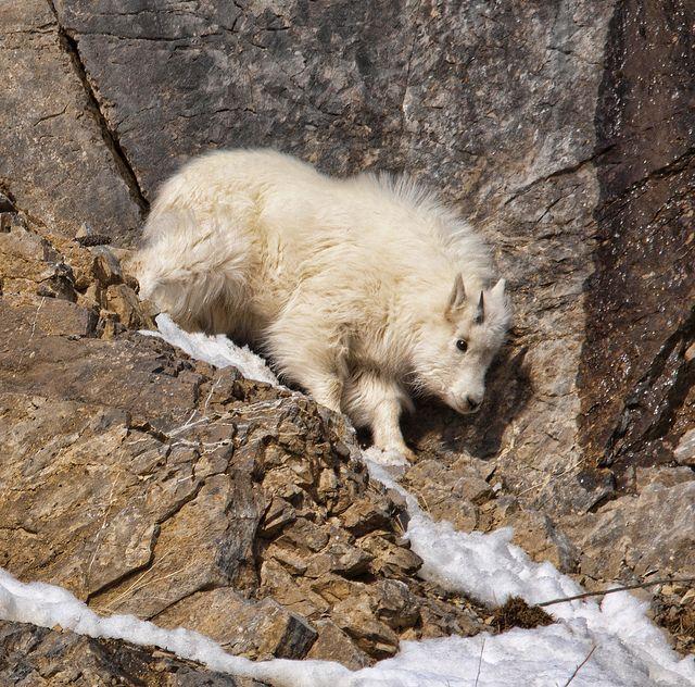 25+ best ideas about Mountain goats on Pinterest   Wild ...  25+ best ideas ...