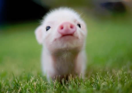 Little pinky pig ;3. Visit http://www.pinterest.com/debeloh for more!