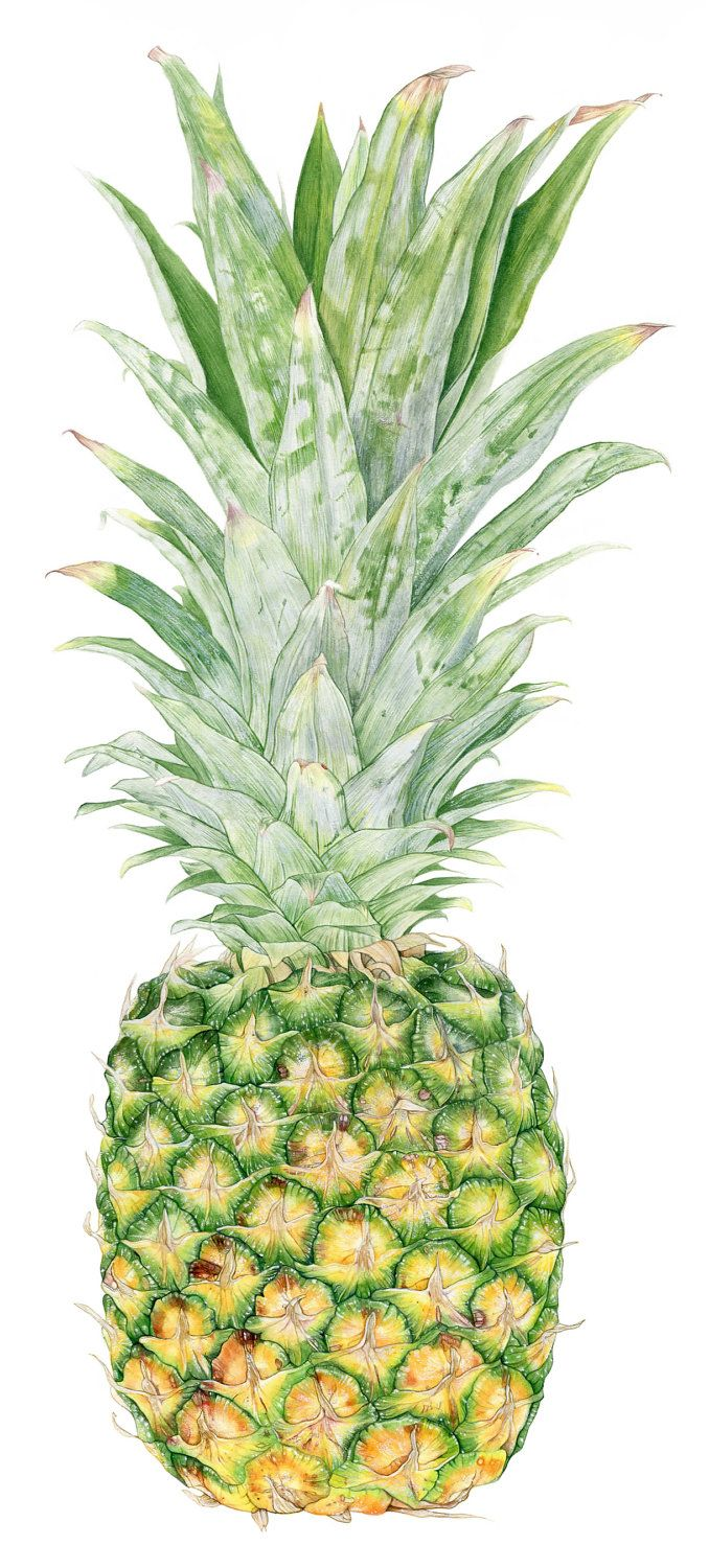 Pineapple Botanical Print from original by TobererIllustrations