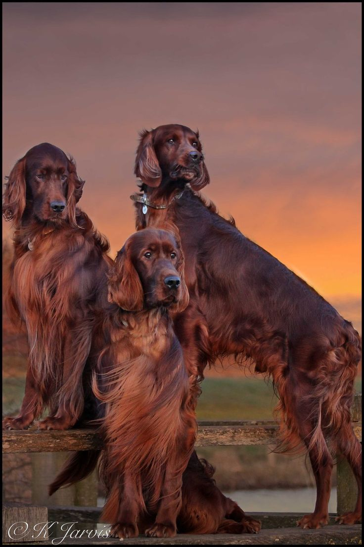 Irish Setters ~ Classic Look & Trim