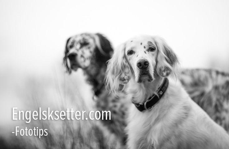 Hundefotografering tips – #2 fotoutstyr | Engelsksetter.com