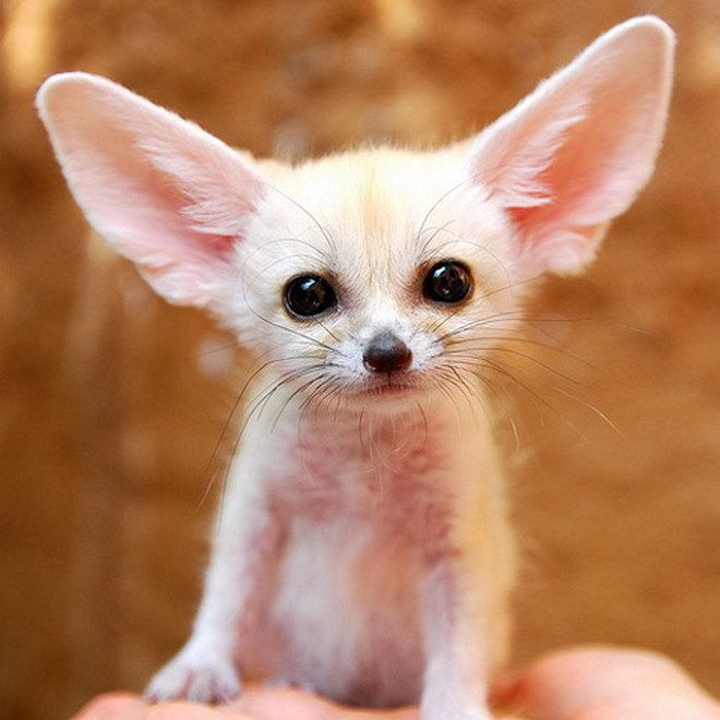 Fennec Fox... how can you not love that little face?