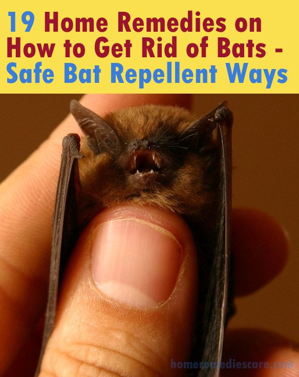 Home Remedies Care — 19 Home Remedies on How to Get Rid of Bats – Safe...