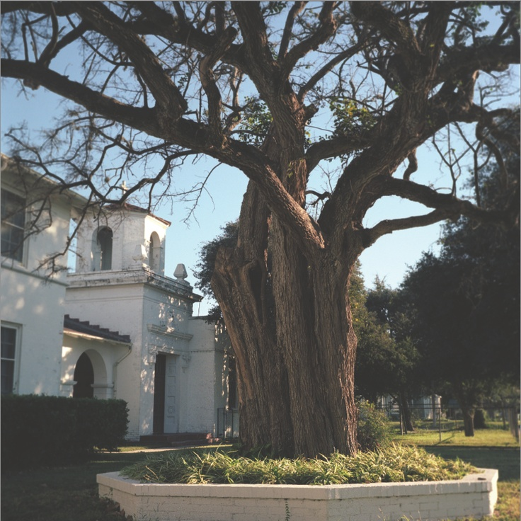 """The oldest anaqua tree, where Sam Houston gathered his army in 1835 to fight the Mexicans, from my new book, """"Living Witness: Historic Trees of Texas"""" See more at livingwitness.net"""