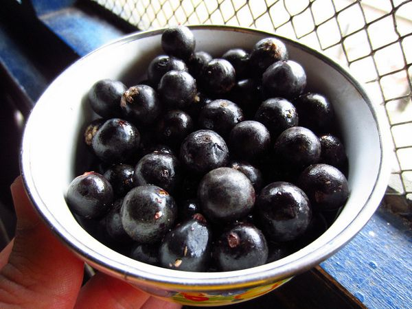 Acai berry is a small round fruit, brilliant reddish-purple in color. The benefits of Acai berry fruit apart from being delicious are many. Here is a list.