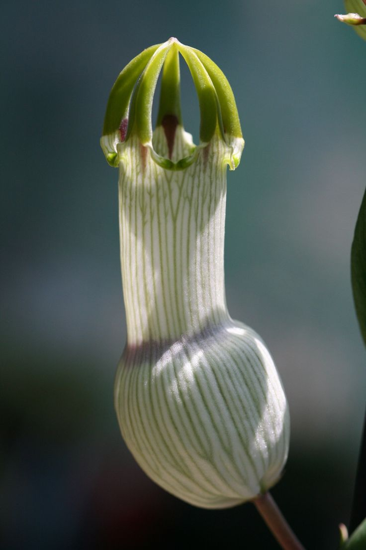 Related pictures split tongue jpg pictures to pin on pinterest - Nearly Leafless Rambling Stems Produce Inflated Balloon Like Flowers Of White And Yellow Pin Stripes Topped With Emerald Green