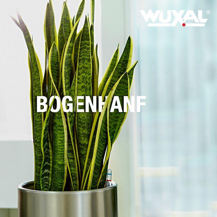 Die Pflanze ist nicht nur genügsam, sondern hilft auch noch dabei, Giftstoffe aus dem Sauerstoff zu filtern. Die Wüstenpflanze regelt die Luftfeuchtigkeit in der Wohnung und hat sich perfekt an ein Leben in Räumen angepasst. In Korea überreicht man die Pflanze sogar seinem Geschäftspartner zur Begrüßung. In Afrika werden auch Körbe aus den Fasern geflochten. Der Bogenhanf kommt einem besonders entgegen, wenn man viel unterwegs ist und man vergessen hat, ihn zu gießen.