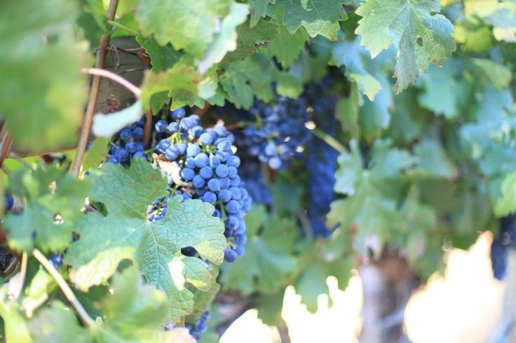 Sterling Winery - stomp grapes
