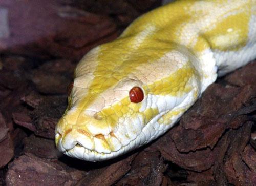 Pitone reale albino