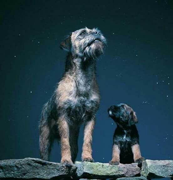 Pin By Jen Shannon On Border Terriers