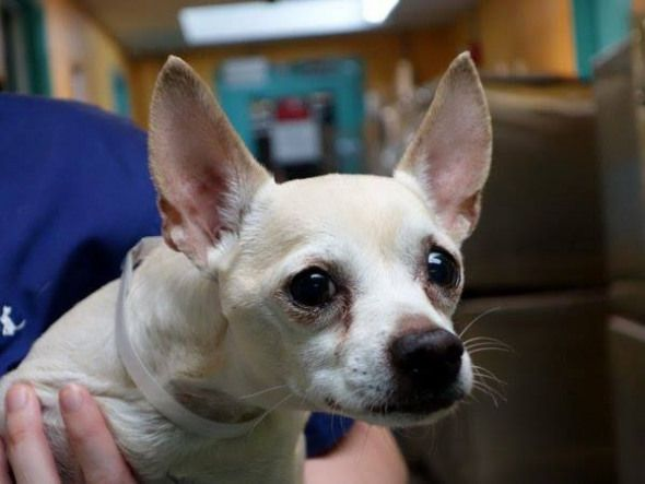 To Be Destroyed 8 27 13 Manhattan Center New Photo My Name Is Gyro My Animal Id Is A0976003 I Am A Male Cream Chihuahua Sh Mix The Shel My Animal